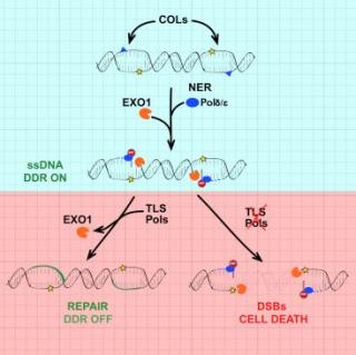 Università  milano  dna  cromosomi  proteini  DNA polimerasi translesione  EXO1