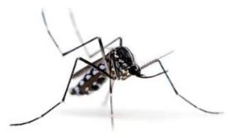 Zanzara tigre  raggi  roma
