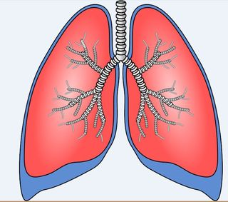 Polmoni lungs