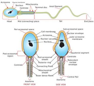 Spermatozoo  tumore  cancro  fertilità  congrlamento  farmaci  graco