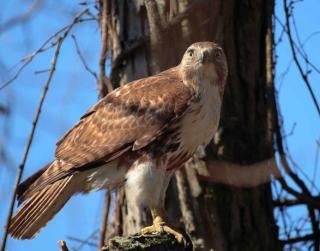 Falco  sardegna  spano