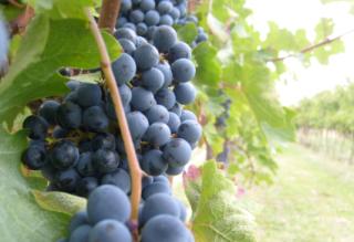 Uva  vino  raccolto  vendemmia  2018  svizzera