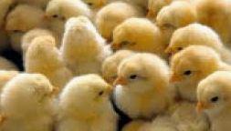 Pulcini  svizzera  uovo  ovaiole  galline  protezione  uccisione