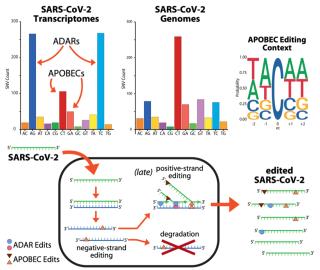 Editing  rna  cnr  mattiuz  sars-cov-2  apobec  adar  adenina  inosien  uracili  sequenziamento