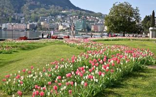 Ticino  lugano  tumore  cancro  seno  campagna  1 Tulipano per la VITA  borradori  svizzera